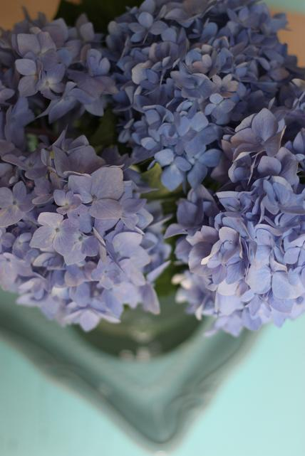 blue hyndrangea flower