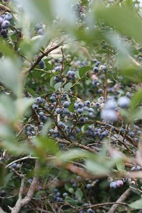 picking blueberries as a group