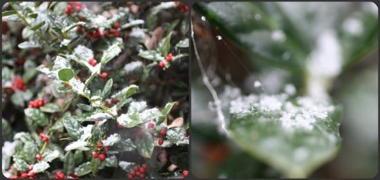 snow on holly bush