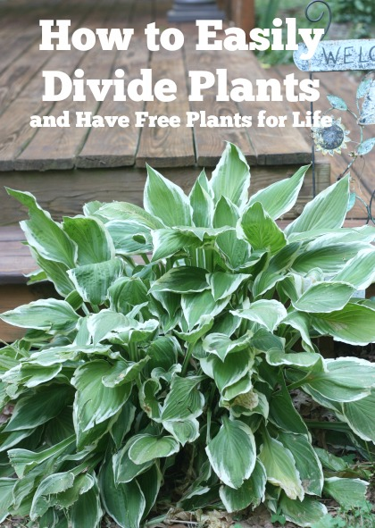 Easily Divide Hosta and Daylilies (and have free plants for life)