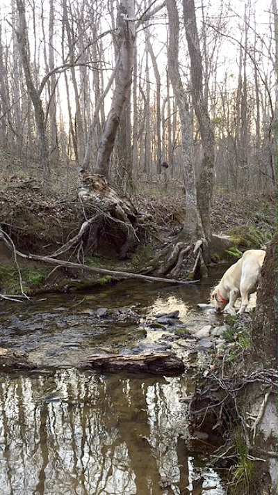 Yellow lab drinking in creek