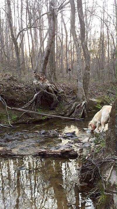 Yellow lab drinking in creek